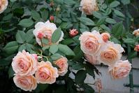 ア・シュロップシャイア・ラドが一番きれいだった日 - Doriのお気に入り