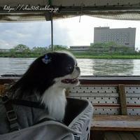茶々丸 舟に乗る☆ おから選び - 狆の茶々丸