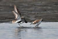 ハマシギのバトル…三番瀬の鳥たち⑤ - Taro's Photo