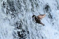 カワガラス 05月12日-2 - 旧サンヨン野鳥撮影放浪記