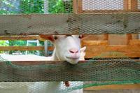 東大の白いヤギ - やんまる写真館