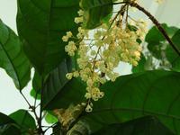 ピンポンの木に花が咲いた♪ - 花追い日記