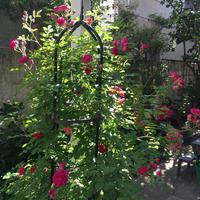 バラゾウムシに勝ったバラ〜エクセルサ - Mayumin's rose garden&table 小さな秘密の花園で