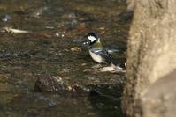シジュウカラの水浴び - 近隣の野鳥を探して