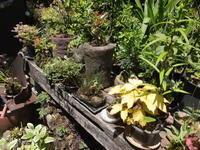 「ほおの季」さんのミニ盆栽・こけ玉 - アオモジノキモチ
