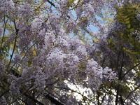 藤の花が咲き始めました - 八ヶ岳 革 ときどき くるみ