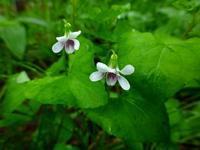 北大キャンパスで咲くツボスミレ - 野に咲く北国の花