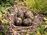 ケリの卵が。 - Photo*Today & Then