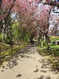 西野緑道の八重桜 - 小さなお庭のある家