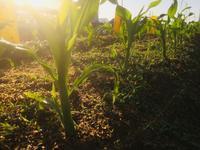 トウモロコシの一本仕立て - 週末農夫コーディーのイケてる鍬の振るい方