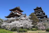 伏見桃山城の桜 - ぴんぼけふぉとぶろぐ2