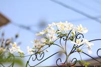 雪のようなスノーフレーク - my small garden~sugar plum~