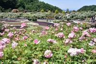 花フェスタ記念公園のバラその1 - 尾張名所図会を巡る