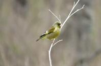 綺麗な黄緑のカワラヒワ、鹿ちゃん - 湿原と海のそばで