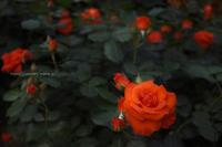 薔薇 - ぽとすのくずかご