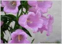 庭に咲く花-4ベルフラワー - 野鳥の素顔 <野鳥と日々の出来事>