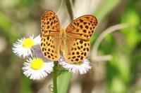 クモガタヒョウモンアザミの園で - 蝶のいる風景blog