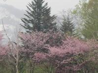 遅めの桜を眺めながら・・。道民の森ノルディックウォーキング2018。 - 秀岳荘みんなのブログ!!