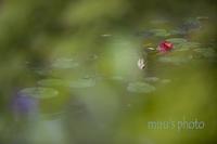 印象派モネの池。 - MIRU'S PHOTO