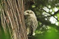 フクロウの雛 - barbersanの野鳥観察