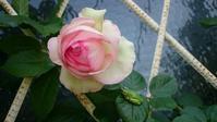 ピエール咲いた&白いイチゴ(白くない)収穫 - Rose & Mary