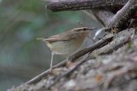 今季初クロツグミ&アオジのさえずり - 四十雀の欣幸 ~野鳥写真日記~