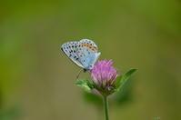 オオルリシジミ5月16日 - 超蝶