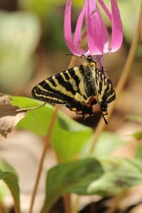 2018年4月に出会った蝶と、司会に飛び込んだ鳥〜白馬と裏高尾 - 蝶・花・山~自然の色使い