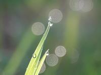 朝露に輝く雑草 - ヒロムシ君のお散歩日記
