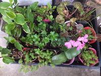 小さな植木鉢展~7 - アオモジノキモチ