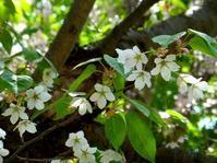 北大キャンパスの桜 - 野に咲く北国の花