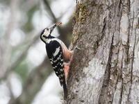 営巣中のオオアカゲラ - コーヒー党の野鳥と自然 パート2