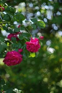 バラに恋して・・・ - aya's photo