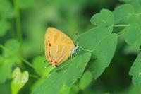 アカシジミ雑木林の女王 - 蝶のいる風景blog