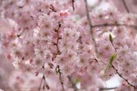 圧倒的桜。 2018  - 暮らしを紡ぐ
