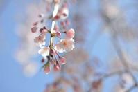 枝垂れ桜 - ∞ infinity ∞
