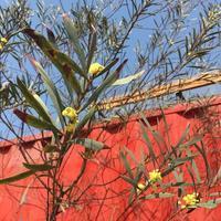 黄色い花 - いつかマダガスカル-3
