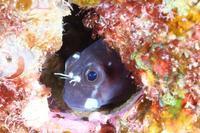 フタイロカエルウオ卵保護 - 潜りたおし