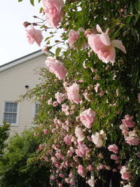 風にそよぐよ♪淡いピンク色のF.ジュランビル - Baking Daily@TM5