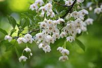 エゴノキと、三種の桜のサクランボ - 子猫の迷い道Ⅱ