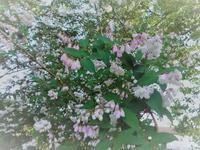 更紗空木 - だんご虫の花