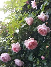 5月の薔薇の作業 - 薔薇のガーデナー Weekend's+Ladybirds