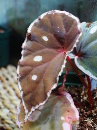 木立性ベゴニアの1種(サラワク産) - Blog: Living Tropically