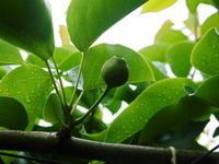 熊本梨本藤果樹園1次摘果と混植、有てい果の話 - FLCパートナーズストア