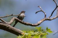 エナガの幼鳥 - あだっちゃんの花鳥風月