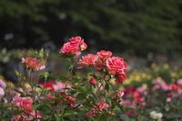 バラ園にて - 彩の国 夢見人のフォト日記
