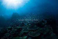 光と群れとサンゴ - Diving Life ~Aita pe'a pe'a~