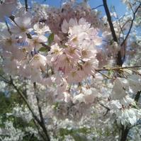 お花見。 - komorebi*