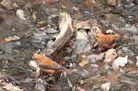 水場のイスカ - 上州自然散策2