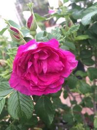 食香バラの収穫・醤(ジャン)作り。。♪ - 妖精と香りの庭